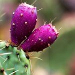 Актуально: prickly pear seed oil, или масло семян индийской опунции