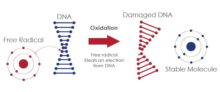free-radical-damages-dna